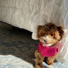 Maltipoo puppies ready for adoption