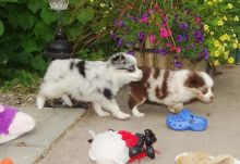 Australian Shepherd Puppies Ready 716 402 8078 Image eClassifieds4U
