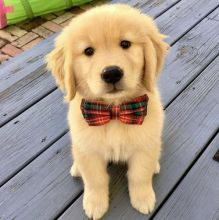 2 Golden Retriever puppies available