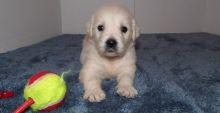 Adorable Golden Retriever Puppies (716) 402 8078