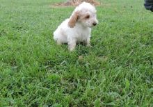 apoo Puppies Available (716) 402 8078