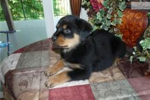 Awesome Rottweiler Puppies 716 402 8078