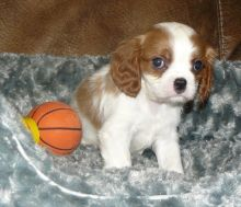 Cavalier King Charles Puppies (716) 402 8078