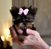 Cute Tea Cup Yorkie Puppy for Adoption