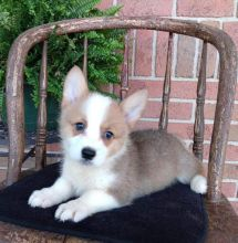Healthy and Gorgeous Welsh Corgi Puppies