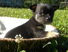 uofcf Two Chihuahua Puppies For Re-homing 716 402 8078