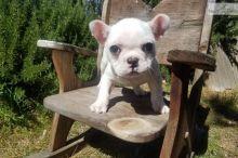 French Bulldog Puppies (716) 402 8078 Image eClassifieds4U
