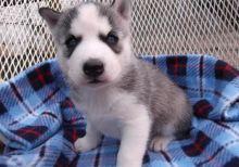 Gorgeous Siberian husky puppies 716 402 8078 Image eClassifieds4U