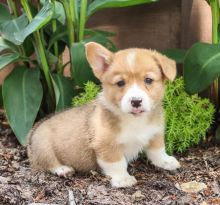 Healthy and Adorable Pembroke Welsh Corgi Puppies available Image eClassifieds4u 1