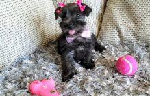 Miniature Schnauzer Puppies (716) 402 8078 Image eClassifieds4U