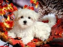 Super Cute Maltese Puppies for Adoption Image eClassifieds4U