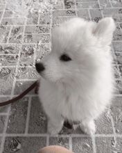 Breathtaking Ckc Samoyed Puppies Available
