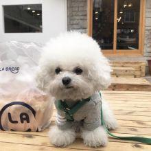 Ckc Bichon Frise Puppies Email at us [mountjordan17@gmail.com ]