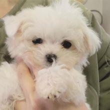Ckc Ckc Maltese Puppies Email at us [ mountjordan17@gmail.com ]