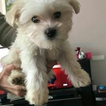 Staggering Ckc Maltese Puppies Available [ mountjordan17@gmail.com]