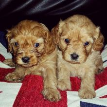 cavapoo puppies ready going for a new home