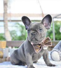 Ckc French Bulldog Puppies Email at us [ mountjordan17@gmail.com ]