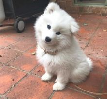 Ckc Samoyed Puppies Ready for a Email at us [ mountjordan17@gmail.com ]