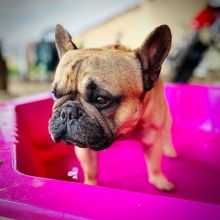 Free adoption of two cute French bulldog puppies
