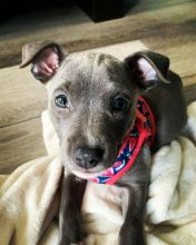 Humble blue nose pitbull puppies for re-homing