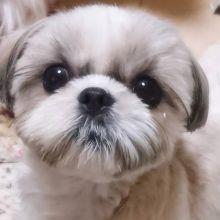 Smart Ckc Shih Tzu Puppies Available