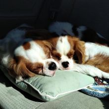 Super cute and adorable King cavalier puppies for re-homing