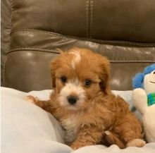 Very Cute Ckc Cavapoo Puppies Available