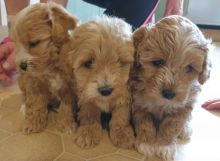HOMES RAISED AMAZING MINI MALTIPOO PUPPIES FOR REHOMING