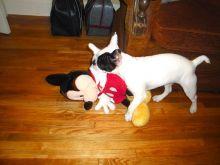 Boston Terrier puppies for sale in Brisbane
