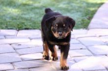 Rottweiler puppies available,Melbourne