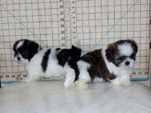 Shih Tzu puppies in New South Wales