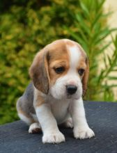 Awesome beagle Puppies