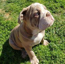 Astounding Ckc English Bulldog Welsh Corgi Puppies Available