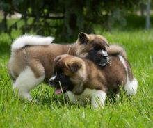 Amazing Akita Puppies for your homes