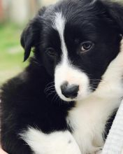 Healthy Male and Female Australian Shepherd puppies looking for Re-homing.