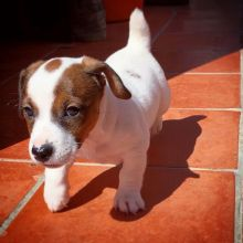 Jack Russell Terrier Female and Male