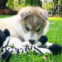 Siberian Husky Puppies Ready For A Forever Home