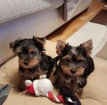 Small Yorkie Puppies For loving homes