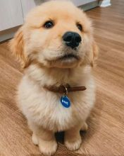 Healthy and VERY friendly CKC Golden Retriever pups available!!!