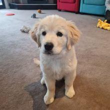 Golden Retriever puppies!!Email charlienora00@gmail.com