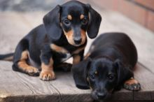 CKC Registered DACHSHUND Puppies For Re-Homing