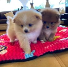 Gorgeous and adorable male and female Pomeranian puppies for adoption
