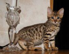 Intelligent acting bengal kittens.