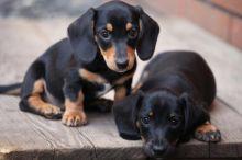 Intelligent DACHSHUND puppies