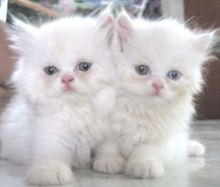 Persian kittens with all documents.