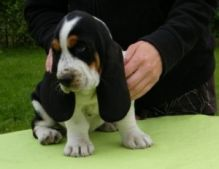 Adorable Basset Hound Pups for Sale (716) 402 8078