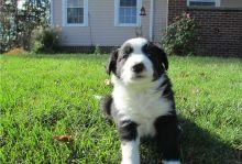 Adorable Border Collie pups (716) 402 8078