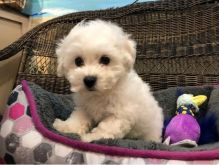 Bichon Frise puppy for home (716) 402 8078