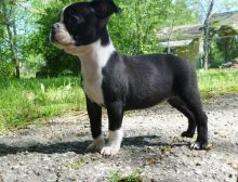 cdfdgfhgfhgdfs Boston Terrier puppies for Sale (716) 402 8078