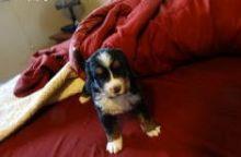 male and female Bernese Mountain Dog (716) 402 8078